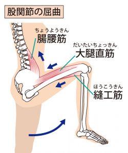 股関節の屈曲の解剖の図