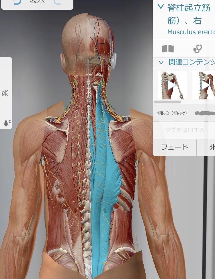 脊柱起立筋の作用