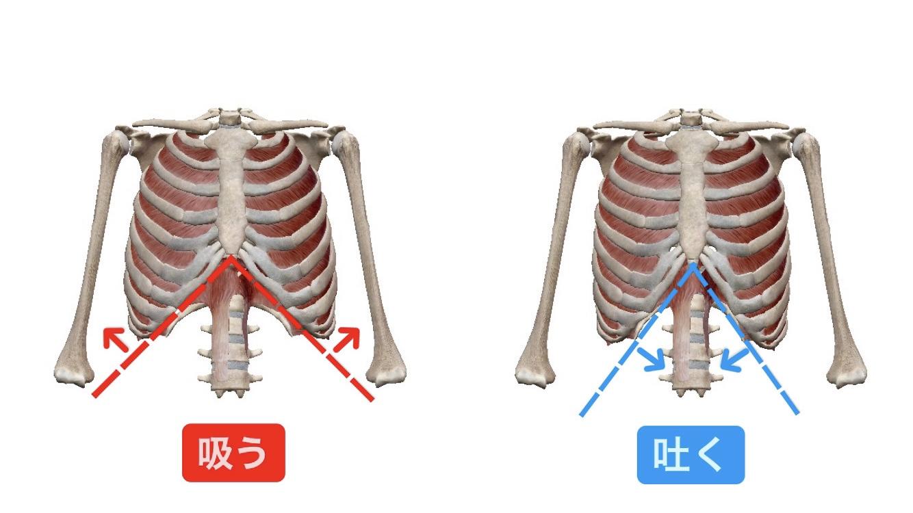肋骨が出っ張る原因